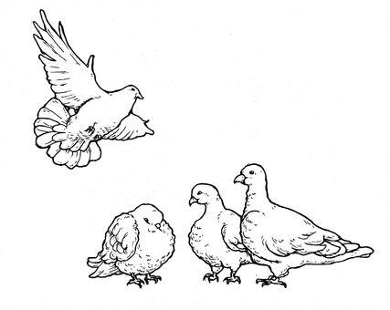Pigeon gathering