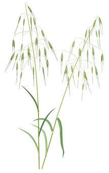 Oats / weeds
