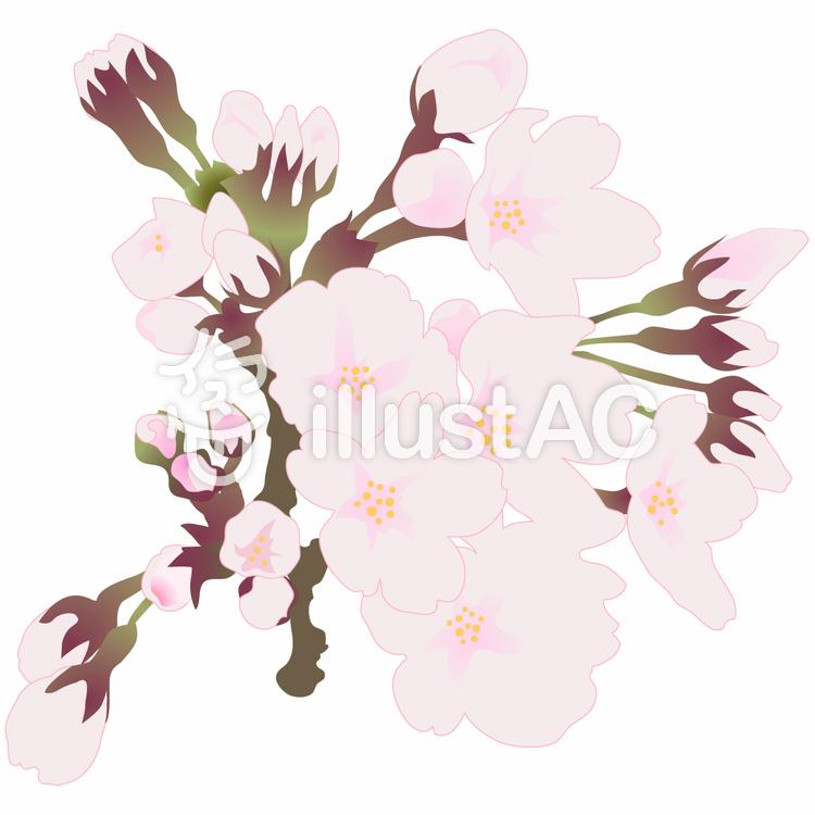 桜1のイラスト