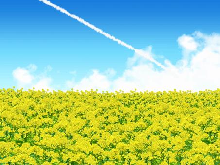 유채 꽃밭과 비행운