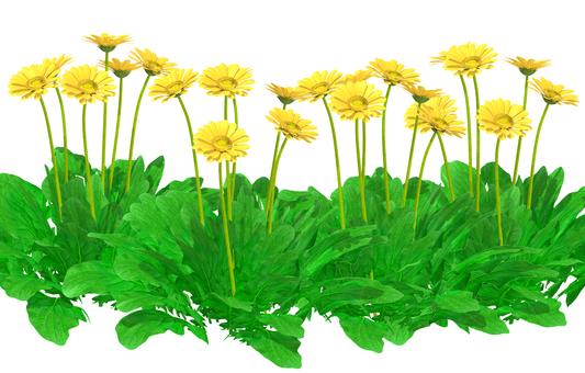Gerbera _ yellow_ flower garden