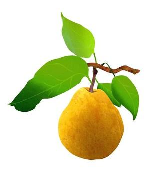 Western pear