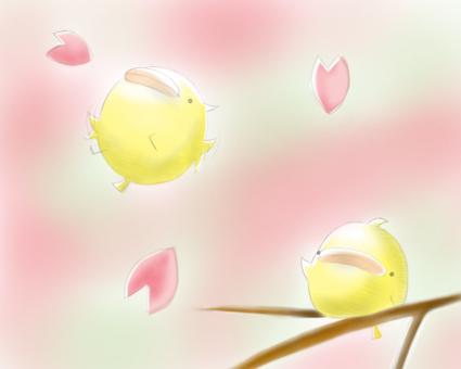 Sakura · · · Piyo scattering w