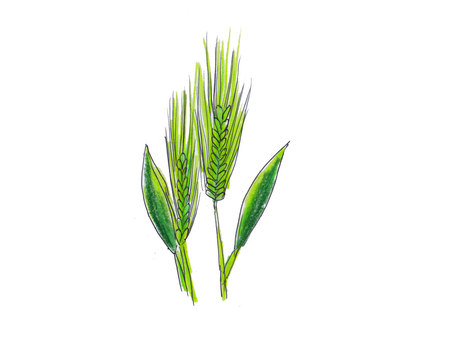 Barley young leaves