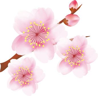 Yae Sakura