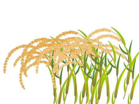 चावल के पौधे