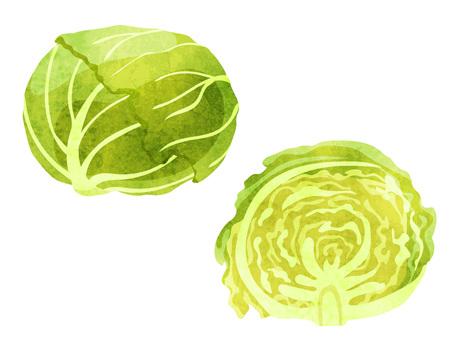 Ingredients _ Vegetables _ Cabbage _ Watercolor