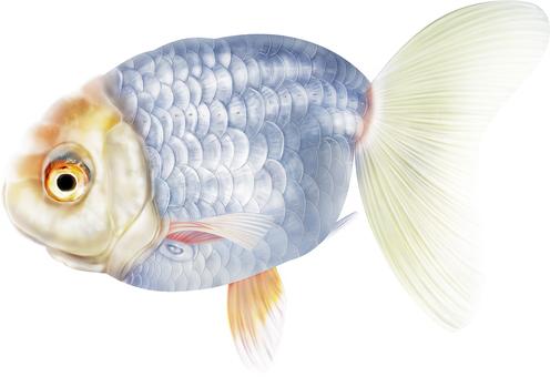 Real expensive goldfish · Osaka ranch sideways