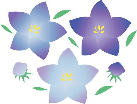 Chinese bellflower illustration