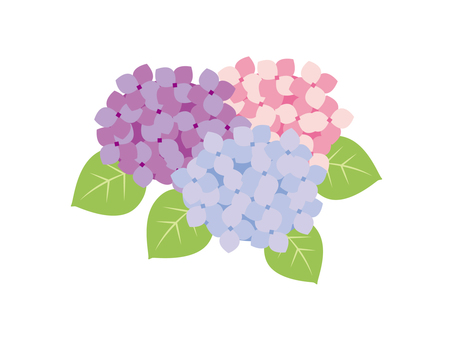 Three colors hydrangea