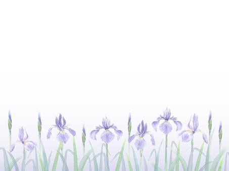 Oysterbata (iris Ayame)