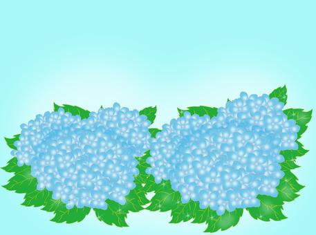 Hydrangea Blue Morning dew shining