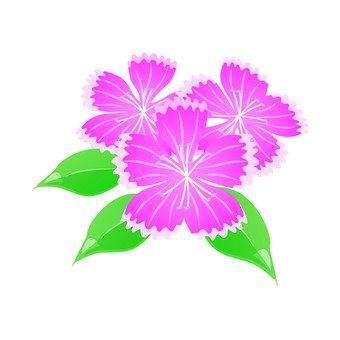 분홍색 나데시코 (복수)