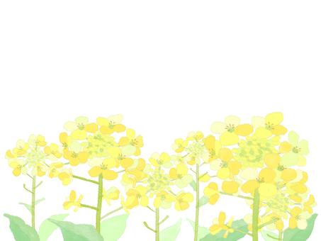 Rape blossom 7