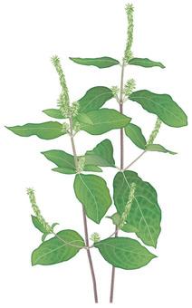 Innoco / Weed