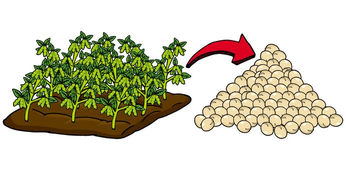 大豆/收穫