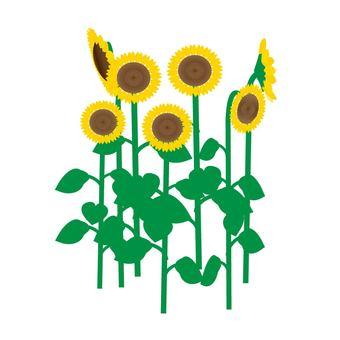Sunflower ③