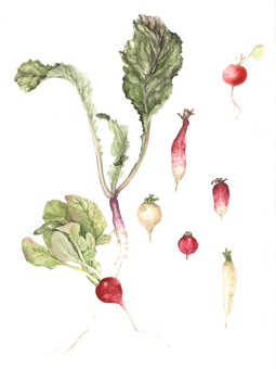 Various kinds of radish