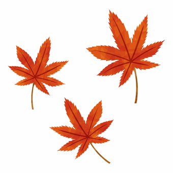 Autumn leaves / Maple