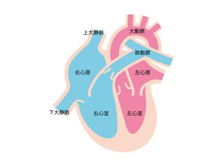 Human body _ cardiac cross section