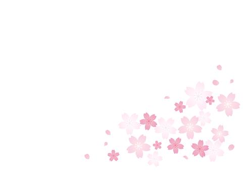 Cherry blossoms 15