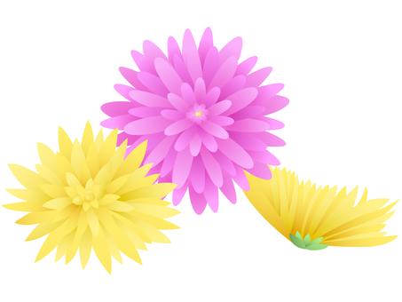 Food chrysanthemum
