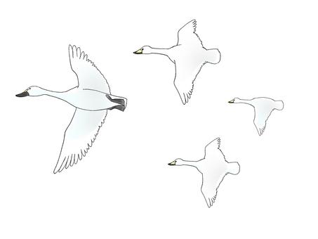 Swan migratory bird