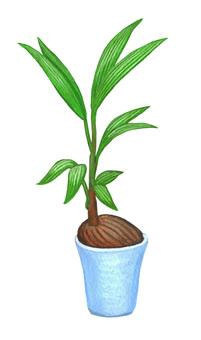 Houseplant coconut palm