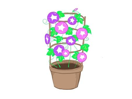나팔꽃 紫鉢