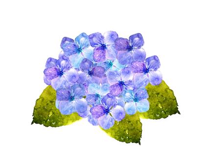 紫陽花 水彩
