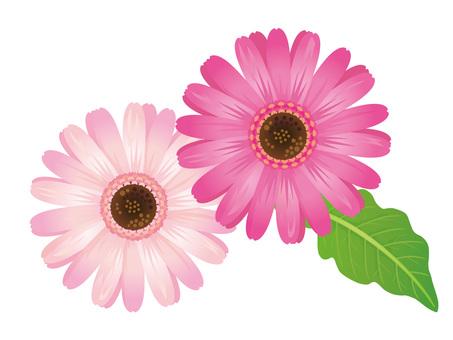 핑크 거베라 꽃 자르기 02