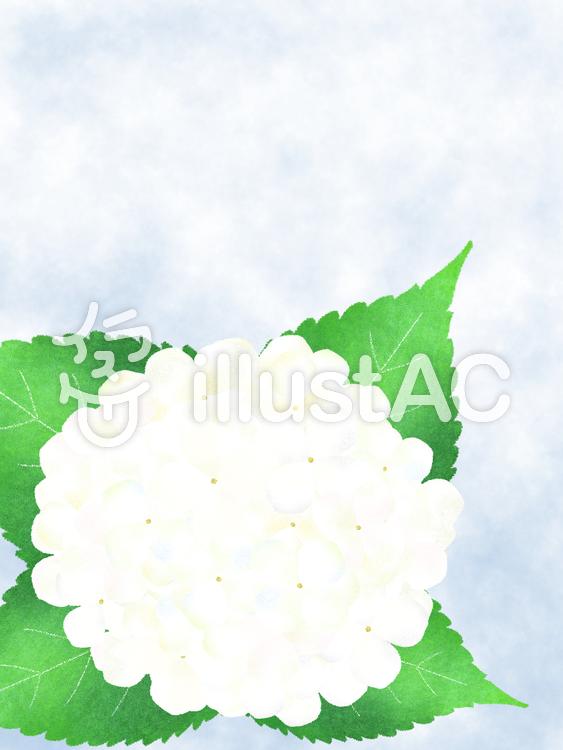 紫陽花・白