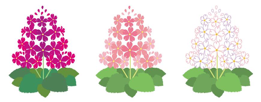 Primula · cherry tree