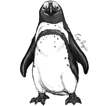 Cape penguin B