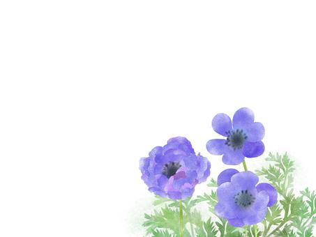 銀蓮花紫色
