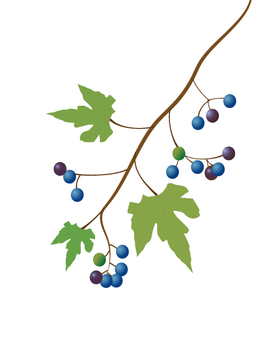 Wild grapes illustration