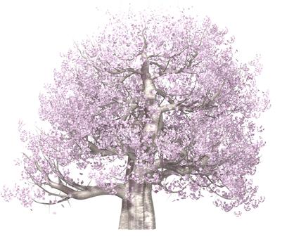 벚꽃 나무 _ 만개 _003