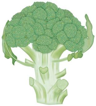 Broccoli / Vegetable