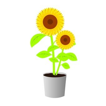 Sunflower potted plant