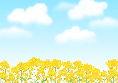 Rape blossoms and blue sky background