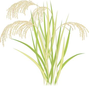Rice / Autumn 1