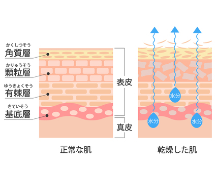 Skin cross-section illustration