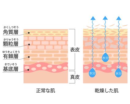 Skin cross-section illustration