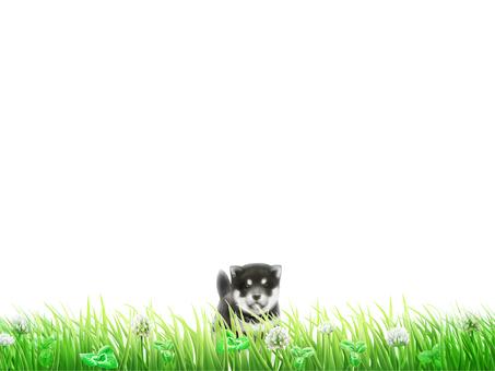Lawn White Alpine Siberian Husky Background