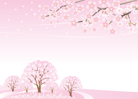 Scenery of cherry blossoms in full bloom