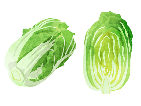 Ingredients _ Vegetables _ Chinese cabbage _ watercolor