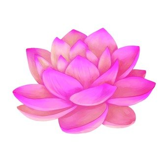 Up of pink lotus
