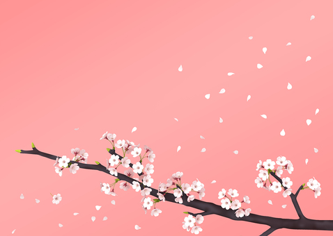Cherry blossoms scattering petals