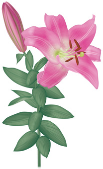 Lily / pink color