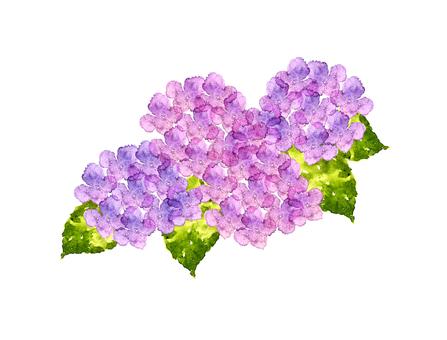 紫陽花 水彩3